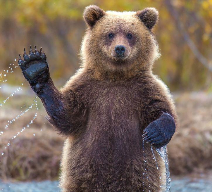 5 Pravidiel pri pozorovaní medveďa